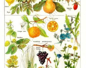 antique french astringent medicinal plantes illustration DIGITAL DOWNLOAD