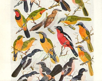 Vintage 1940 Bird Print Natural History Antique Illustration Bird feathers 45