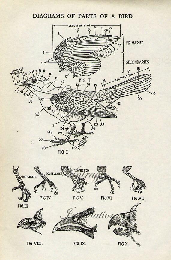 Vintage Bird Print Natural History Antique Illustration Bird