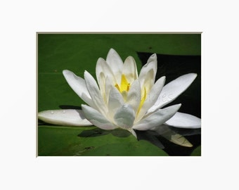 Lotus Photography Water Lily Peace Meditation Zen Mindfulness Reflection White Aquatic Plant Nature Photography Water Garden Spa Flower