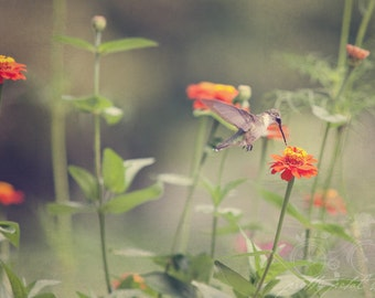 Fine Art Photo, Hummingbird Photo, Zinnia Flower Photo, Orange, Garden Print, Bird Art, Summer, Botanical Print, Flutter, Humming Bird Art
