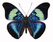 "Real Panacea prola ""Red Flasher"" Butterfly, spread for your project or laminated or unmounted"