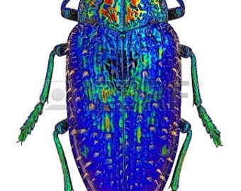 Blue Rainbow Jewel Beetle, Polybothris sumptuosa gema, Real Insect
