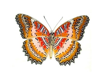"""Real Cethosia biblis """"Red Lacewing"""" Butterfly, spread for your project or laminated or unmounted"""