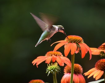 Hummingbird in flight with echinacea flowers
