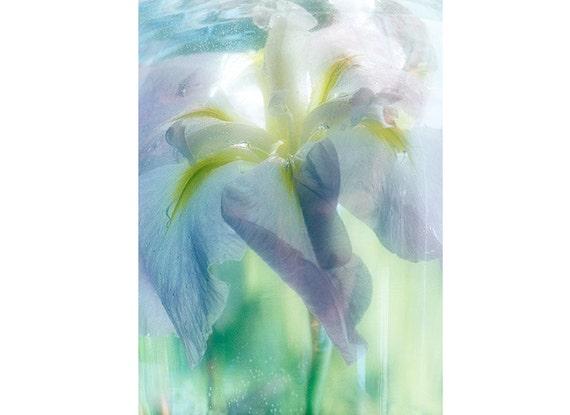 Blue Iris Print,  Japanese Iris Art, Ethereal Art, Still Life Photography, Floral Wall Decor