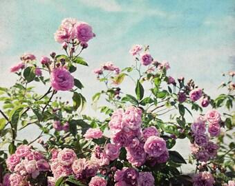 Botanical photography print pink aqua rose garden floral wall art - Ramblin Rose