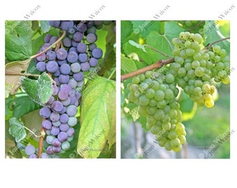 Set of 2 Red & White Wine Grapes Fingerlakes, NY Floral Fine Art Photography Photo Prints
