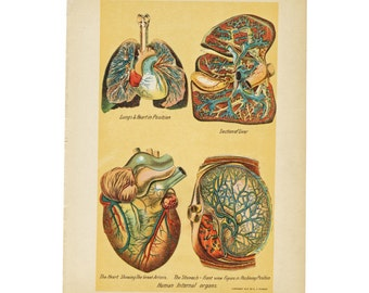 Antique Anatomical Plate Teeth Major Organs