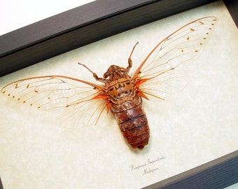 Worlds Largest Cicada Pomponia Imperatoria Real Framed Insect Display 2290
