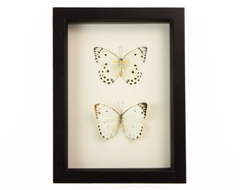 Butterfly Taxidermy Polka Dot Insect Display