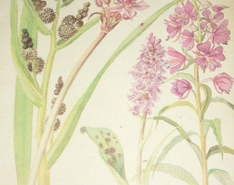 1970s Botanical Print of 1906 Edith Holden Water Color, Bur Reed, Flowering Rush, Willow Herb/ Butterfly, Bumble Bee, Vintage Book Page