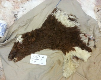 Simmental Cross Calf Cape- Taxidermy Quality- Wet Tanned Lot No. 0108-A
