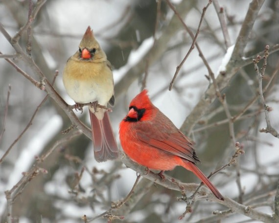 Pair of Northern Cardinals - 8 x 10 Unmatted Photo - Free Shipping to U. S.!!!