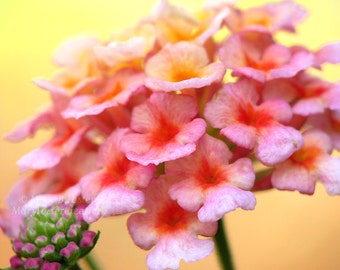 Lantana Flower Photograph hot pink bright yellow orange macro nature photography summer home decor warm colors floral art 7x5 10x8 14x11