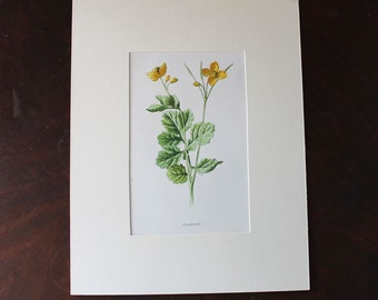Vintage Mounted Yellow Celandine Flower Ben George London Bookplate