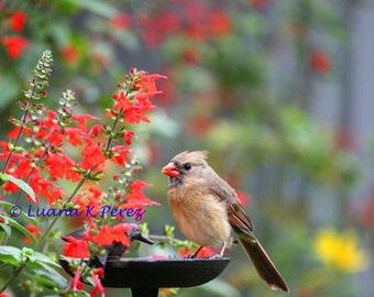 Cardinal Bird In Garden