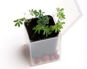 Sensitive Plant Kit -- It Moves When Touched -- Grow Your Own Sensitive Garden - Very Low Maintenance - Indoor or Outdoor - Plant Moves!