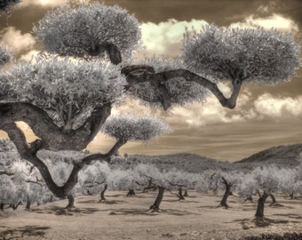 Infrared photo Olive grove, spain photography, agriculture photography, Olive home decor, Olives, growing olives, Spanish Olives, Bonza