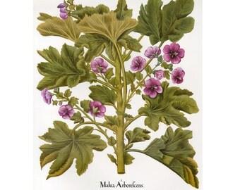 Mallow Plant Print Besler Florilegium Book Plate SALE~~Buy 3, get 1 free