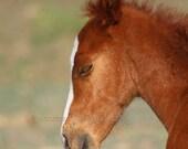 chestnut foal, horse art, horse photograph, sorrel, baby horse, baby nursery, southwestern decor, western decor, horse photo, Spanish Barb