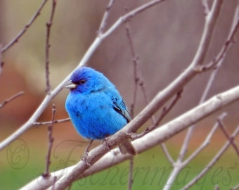 Nature Bird Blue Indigo Bunting Perched in Tree Branches Wall Art Home Decor Photo Print Digital Download Fine Art Photography