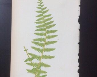 Antique Fern Print  By E.J.Lowe, 1856