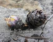 Pine Cone Photograph - 5x7 Photographic Art Print