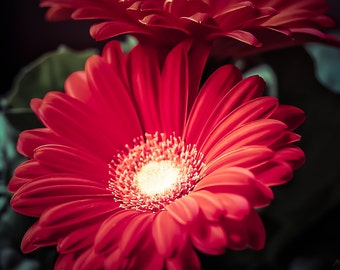 ORANGE GERBER DAISIES Fine Art Photograph Flower Photography Garden Lovers Orange Green Colors Vibrant Bright Gerber Daisy Flowers