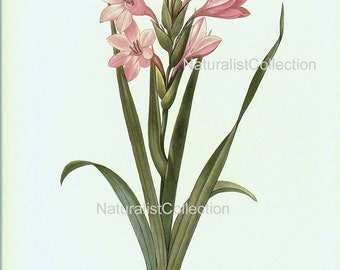BOTANICAL PRINT 1981 Redoute Art Print 49 Pink Gladiolus Flower Plant Beautiful french royal antique writing ivory background wall decor