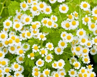 Free USA shipping, 400 seeds, Camomile or Feverfew, Medicinal Herb, Tanacetum Parthenium, Healthy Living