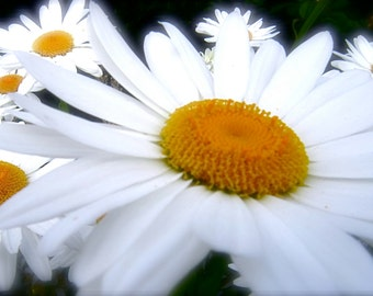 DIGITAL DOWNLOAD flower photography Shasta daisies white blue gold orange nature botanical Janet Long Arts