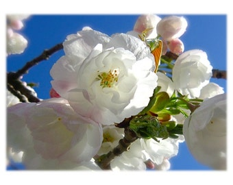 DIGITAL DOWNLOAD Flowering Tree Photography Nature Botanical White Pink Green Cherry Blossoms Blue Sky Spring
