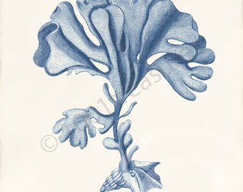 Blue Coral Art Print - Flustra foliacea Blue - Natural History - Beach Decor