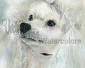 """White Miniature Poodle, AKC Toy, Pet Portrait Dog Art Watercolor Painting Print Picture, Wall Art, Home Decor, """"Pampered Pooch"""" k9stein"""