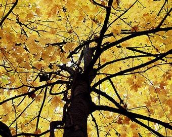 Beautiful Golden Tree 3- Michigan Autumn Photography -   Fall Fine Art Photography