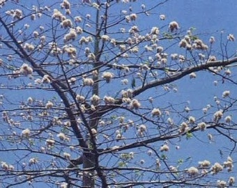 5 Silk Cotton Tree Seeds-1062