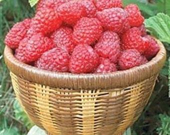 25 Giant Raspberry Seeds-1089A