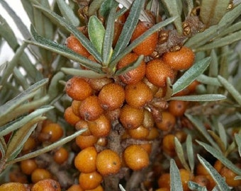 5 Sea Buckthorn Berry Seeds-1149