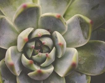 Green Cacti Cactus Succulent Cactus Garden Smooth Leafed Cactus Olive Pastel Green Lime Botanical Desert Plant Rosette  Fine Art Print