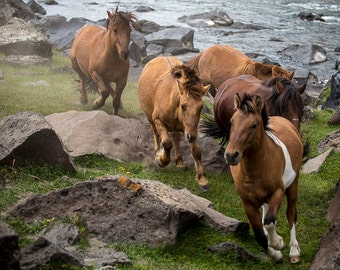 Wild horses running photography. Running horse Mongolian travel photograph. Gift for horse lovers Rustic country western wall art home decor