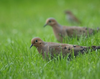 Mourning Doves - 8x10 with your choice of mat colors - black is default
