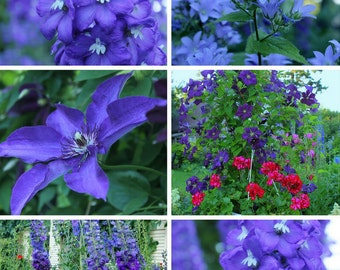 Heirloom 500 Seeds Larkspur Delphinium Consolida Forking Knight's-Spur Blue Flower Bulk Seeds B2053