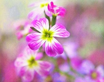 Heirloom 4000 Seeds Virginia Stock Malcolmia Maritima African Mustar Mix Flower A0029