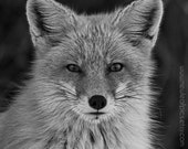 Black and White Red Fox photograph, Animal Photography
