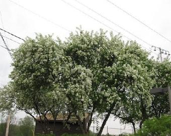 50 Siberian Crabapple Tree Seeds, Malus baccata mandshurica c.s.