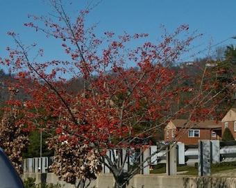 50 Green Hawthorn Tree Seeds, Crataegus viridris