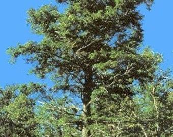 1000 Eastern Hemlock Tree Seeds, Tsuga Canadensis, N.