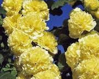 Hollyhock Marjorette Double Yellow, Perennial Flower, 10 Seeds