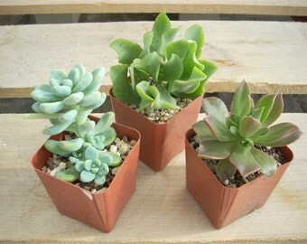 Succulent Plants 16 Chunky Collection 3 Inch Pots